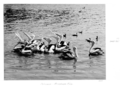 Queensland State Archives 4928 Pelicans Brisbane River 1953.png