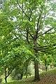 Quercus alba kz03.jpg