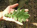 Quercus frainetto Capocotta leaf 1.jpg