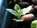 Quercus ilex a germinar.jpg
