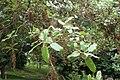 Quercus ilex kz02.jpg