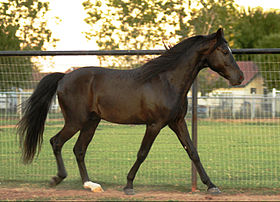 Smoky Black, un étalon Missouri Fox Trotter