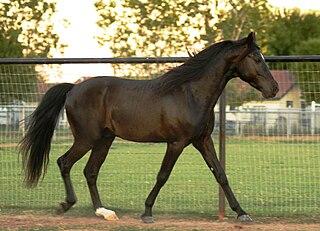 Missouri Fox Trotter American horse breed