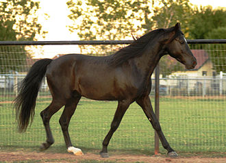 "Smoky black - A smoky black Missouri Fox Trotter horse, with typical ""off-black"" impression."