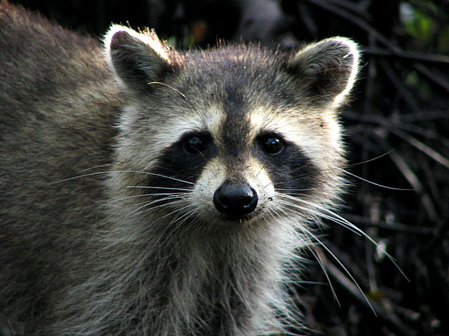 Raccoon - Jonathan Dickinson State Park, From WikimediaPhotos