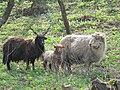 Racka Sheep.jpg