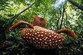Rafflesia arnoldii Bengkulu 03.jpg