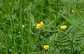 Ranunculus bulbosus 01.jpg