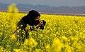 Rapeseed fields in Khusf county - 15 April 2018 06.jpg
