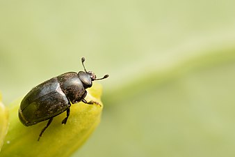 Rapeseed pollen beetle (31570573830).jpg
