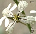 Raphanus raphanistrum flor.jpg