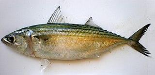 Indian mackerel Species of fish