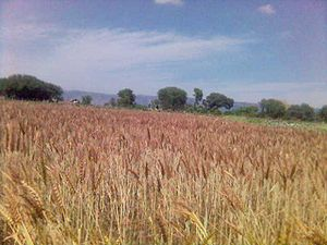 Mirza Pur - Image: Ready to Harvest Wheat crop at Mirza pur