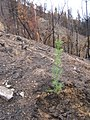 Recently planted douglas-fir on the Klamath NF (3812989486).jpg