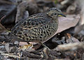 Red-backed Button-quail.jpg