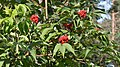 Red-berried Elder (Sambucus racemosa) - Oslo, Norway.jpg