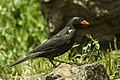 Red-billed Buffalo-Weaver - Tanzania 0219 (22432177548).jpg