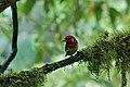 Red-headed Barbet (Eubucco bourcierii) 2015-06-10 (1) (38517898120).jpg
