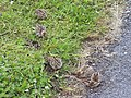 Red-legged Partridge chicks (Alectoris rufa) - geograph.org.uk - 475151.jpg