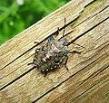 Red-legged Shieldbug - Pentatoma rufipes. Final instar nymph (44273627850).jpg