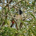 Red-vented Bulbul Camouflage.jpg