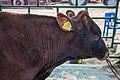 Red Belarusian cattle (Belagro-2021) 2.jpg