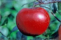 Red Devil on tree, National Fruit Collection (acc. 1999-070).jpg