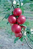 Red Fortune (EMLA 1) on tree, National Fruit Collection (acc. 1979-180).jpg