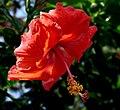 Red Gulf Coast Hibiscus.jpg