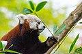 Red Panda (26773152139).jpg