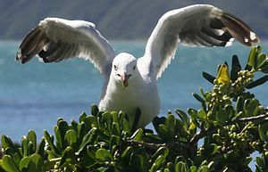 Red-billed gull - Eating taupata berries