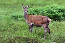 Asian red tail deer