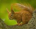 Red squirrel (44351766795).jpg