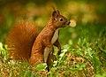Red squirrel (50274003501).jpg