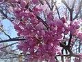 Redbud Flowers.JPG