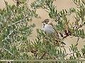 Reed Bunting (Emberiza schoeniclus) (49771478227).jpg