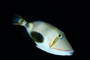 Blackbelly triggerfish - Rhinecanthus verrucosus