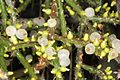 Rhipsalis baccifera ssp horrida pm 1.JPG