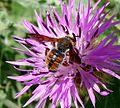 Rhodanthidium species - Flickr - gailhampshire.jpg