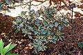 Rhododendron adenogynum - VanDusen Botanical Garden - Vancouver, BC - DSC06953.jpg