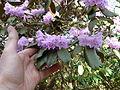 Rhododendron desquamatum (5557132940).jpg