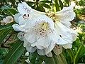Rhododendron irroratum (8591641968).jpg