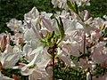 Rhododendron schlippenbachii 2019-04-20 1693.jpg