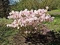 Rhododendron schlippenbachii 2019-04-20 1696.jpg