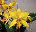 Rhyncattleanthe Jong Jou Moat '金梅花' -香港沙田國蘭展 Shatin Orchid Show, Hong Kong- (25165958685).jpg