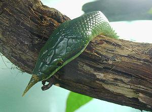 Colubrinae - Rhynchophis boulengeri (rhino rat snake)