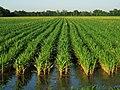 Rice Fields (29512002916).jpg
