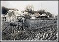 Rice Harvest in Japan 2 (1914 by Elstner Hilton).jpg