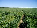 Ripening wheat near Great Wilbraham - geograph.org.uk - 182239.jpg