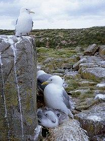 Kittiwake genus of birds